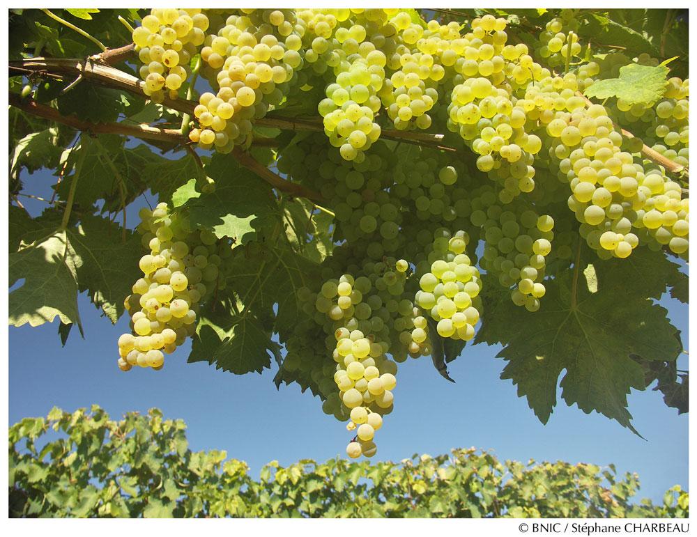 cognac ugni-blanc grapes